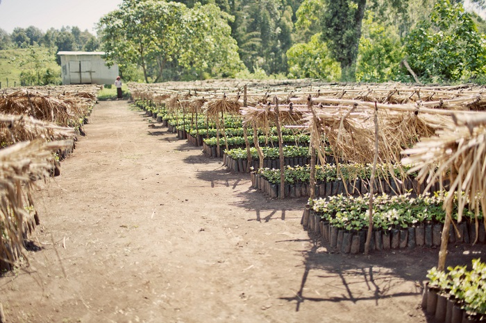 Ethiopia-Welena-plantation