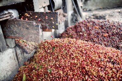Sumatra-Gayo-berries